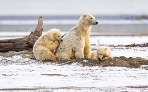 Картинка зима, песок, белый, взгляд, снег, природа, дети, поза, берег, медведь, медведи, три, коряга, медвежата, белый …