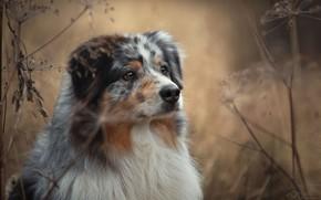 Картинка осень, трава, природа, животное, собака, пёс, аусси