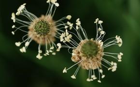 Картинка трава, макро, цветы, фон, тычинки