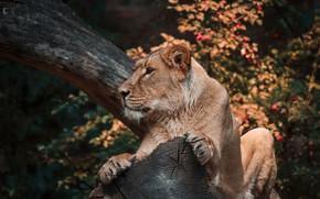 Картинка осень, бревно, львица