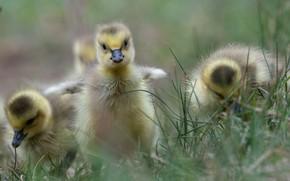Картинка трава, малыши, птенцы, гусята