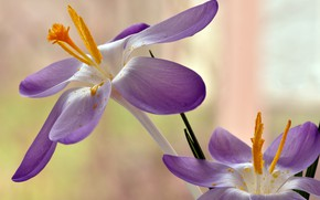 Картинка макро, фон, пыльца, лепестки, крокусы, тычинки, шафран