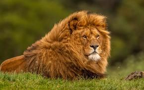 Картинка взгляд, морда, поза, портрет, лев, грива, лежит, дикая кошка