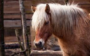Картинка взгляд, морда, конь, лошадь, портрет, грива, пони, гнедой, челка, гнедая, стойло, загорелая блондинка