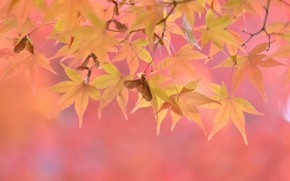 Картинка осень, листья, розовый фон