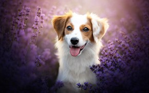 Картинка язык, взгляд, морда, цветы, собака, лаванда, боке