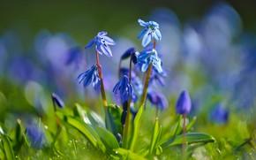 Картинка цветы, голубые, первоцветы, синие, боке, весенние, пролеска