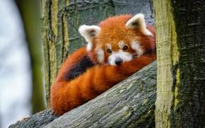 Картинка взгляд, природа, дерево, портрет, хвост, лежит, красная панда, мордашка, малая панда