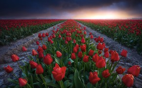 Картинка поле, лето, закат, тюльпаны