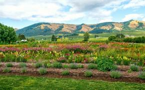 Картинка лес, небо, облака, деревья, цветы, горы, поля, США, Oregon, плантации, Hood River