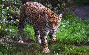 Картинка взгляд, морда, природа, ягуар, крадется