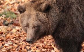 Картинка морда, медведь, великан