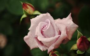 Картинка цветок, листья, капли, роса, темный фон, розовая, роза, лепестки, сад, бутон, бутоны, боке, бледная