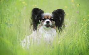 Картинка зелень, лето, трава, взгляд, поляна, портрет, собака, луг, щенок, мордашка, сидит, собачка, милашка, малышка, лужайка, …