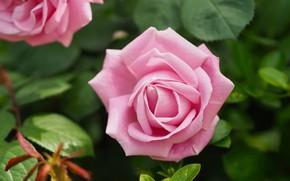 Картинка листья, цветы, куст, розы, сад, нежные, розовые, бутоны
