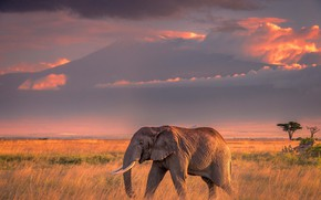 Картинка поле, небо, трава, облака, свет, закат, природа, слон, вечер, освещение, простор, саванна, профиль, Африка, пролгулка