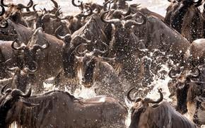 Картинка брызги, Африка, переправа, стадо, Танзания, антилопа гну