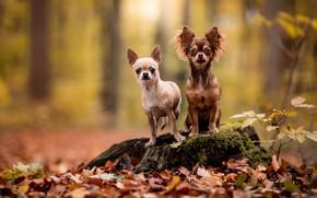 Картинка осень, лес, собаки, взгляд, листья, природа, поза, две, пень, пара, парочка, дуэт, друзья, чихуахуа, собачки, …