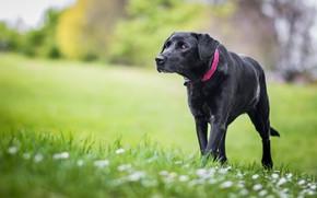 Картинка зелень, трава, цветы, природа, фон, газон, поляна, черный, собака, весна, лужайка, идет, пёс, крупный