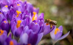 Картинка макро, цветы, пчела, весна, крокусы, сиреневые, боке