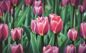 Картинка зелень, листья, цветы, весна, тюльпаны, красные, бутоны, клумба, много, полосатые