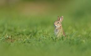 Картинка трава, заяц, луг