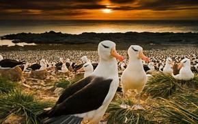 Обои птицы, клюв, колония, Фолклендские острова, чернобровые альбатросы