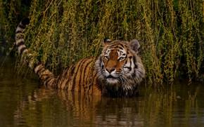 Картинка взгляд, морда, листья, вода, свет, ветки, природа, тигр, поза, купание, хвост, дикая кошка, водоем