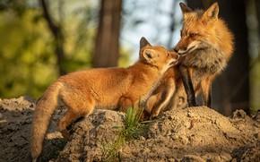 Картинка природа, поза, две, малыш, лиса, пара, лисы, мама, лисенок, лисёнок