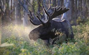 Картинка зелень, лес, морда, природа, рога, лось