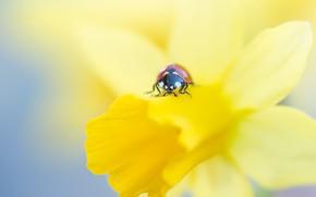 Картинка цветок, макро, красный, фон, божья коровка, жук, размытие, лепестки, насекомое, жучок, нарцисс