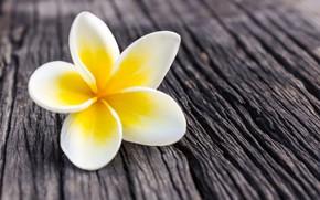 Картинка цветок, лепестки, white, flower, wood, плюмерия, plumeria