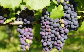 Картинка листья, синий, природа, плоды, виноград, висит, гроздь винограда, виноградная лоза