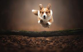 Картинка осень, прыжок, собака, полёт, бревно, боке, опавшие листья, Вельш-корги