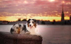 Картинка город, река, животное, собака, Питер, Санкт-Петербург, пёс, аусси