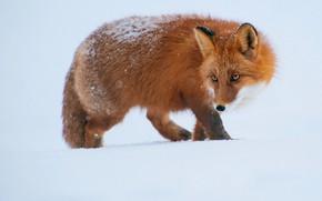 Картинка зима, взгляд, морда, снег, поза, лиса, сугробы, белый фон, рыжая, прогулка, снегопад, крадется, припорошило