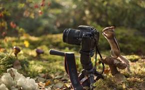 Картинка осень, лес, природа, листва, гриб, фотоаппарат, бурундук, зверёк, грызун, фотокамера