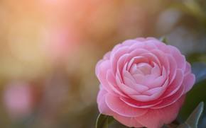 Картинка фон, розовая, камелия