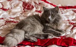 Картинка кошка, белый, кот, взгляд, красный, поза, уют, серый, фон, лапы, пушистый, покрывало, постель, лежит, дымчатый