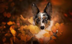 Картинка осень, листья, природа, портрет, собака, бордер-колли