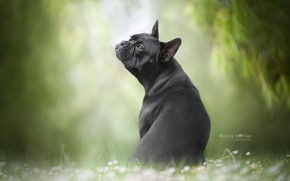 Картинка собака, боке, пёсик, Французский бульдог