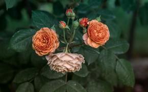 Картинка оранжевые, розы, розовая, куст, бутоны
