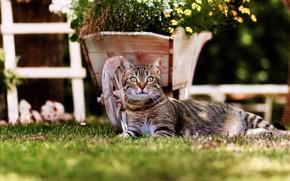 Картинка кошка, трава, кот, взгляд, цветы, поза, темный фон, газон, сад, лежит, тележка, клумба, полосатый
