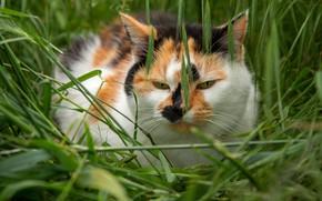 Картинка поле, кошка, лето, трава, кот, взгляд, морда, природа, поза, поляна, портрет, колоски, колосья, рыжая, зеленый …