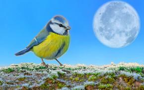 Обои небо, трава, снег, луна, синичка, первый