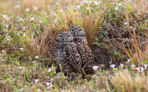 Картинка лето, трава, взгляд, цветы, птицы, природа, сова, две, пара, совы, парочка, дуэт, сыч, сычи, две ...