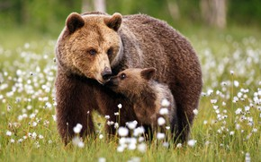 Картинка лес, трава, поляна, малыш, медведь, медведи, медвежонок, прогулка, детеныш, мама, бурый, медведица, бурые, хлопчатник