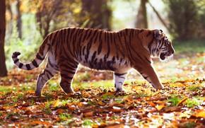 Картинка осень, лес, листья, свет, деревья, природа, тигр, парк, листва, профиль, прогулка, идет, боке