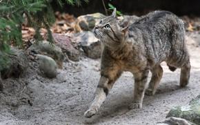 Картинка кошка, кот, взгляд, природа, камни, серый, прогулка, хвоя, полосатый, дикий, лесной, европейский