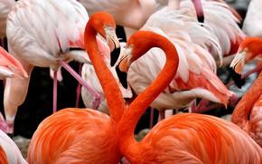 Картинка птицы, перья, клюв, розовые, фламинго